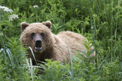 Fotomural Portrait of wild free roaming brown bear