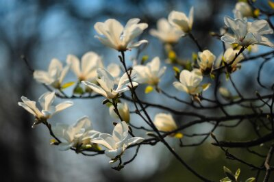 Fotomural Primavera árvore em flores, magnólia