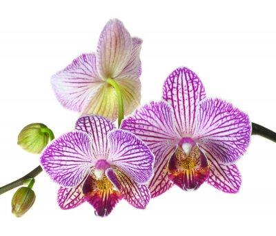 Fotomural Profundidade extrema de campo Foto de três flores de orquídea