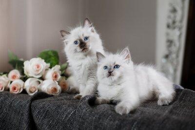 Fotomural Ragdoll ponto azul pequeno gatinho