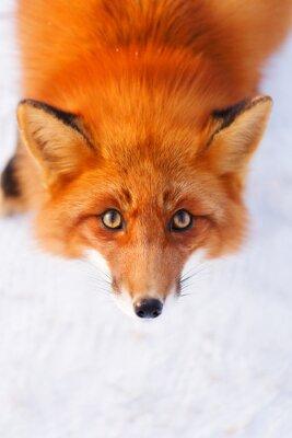 Fotomural raposa vermelha