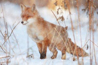 Fotomural Raposa vermelha na floresta do inverno