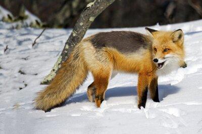 Fotomural Raposa vermelha na neve