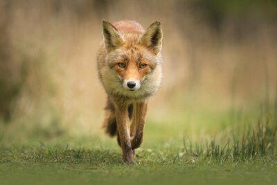 Fotomural Raposa vermelha selvagem
