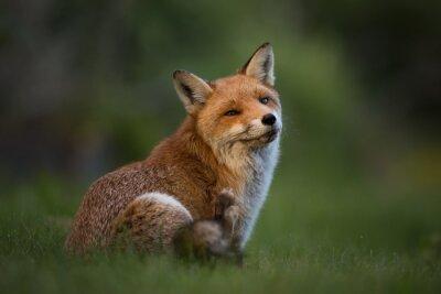 Fotomural Red Fox sentado na grama