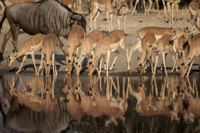 Fotomural Reserva natural de Impala (Aepyceros melampus) del Timbavati em Sud África