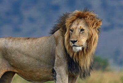Fotomural Retrato, africano, leão