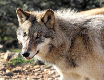 Fotomural Retrato do Alasca do lobo cinzento