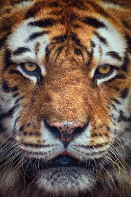 Fotomural Retrato do tigre