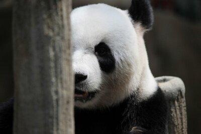 Fotomural Retrato do urso de panda