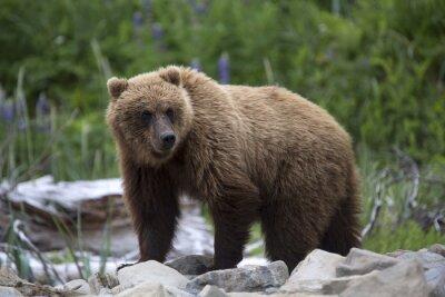 Fotomural Retrato do urso marrom selvagem de roaming grátis