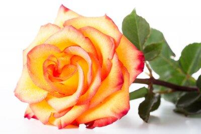 Rosa Amarela Com Uma Borda Vermelha Nas Pétalas Em Um Fundo Branco