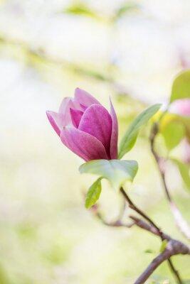 Fotomural Rosa, magnólia, flor