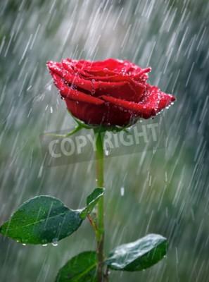 Fotomural Rosa vermelha com pingos de água na chuva