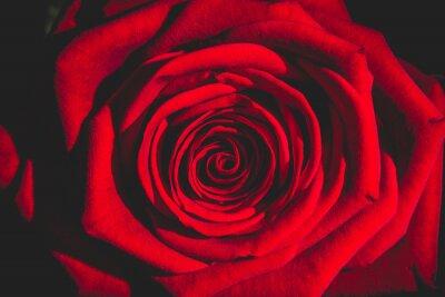 Fotomural Rosa vermelha da escuridão