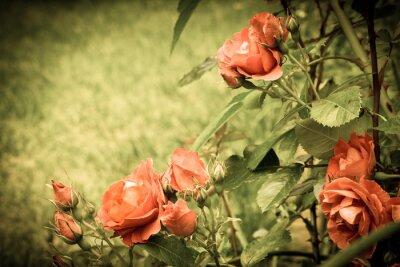Fotomural Rosas no jardim. Imagem estilizado velha.