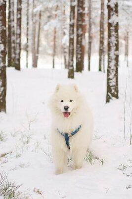 Fotomural Samoyed, cão, ficar, nevado, floresta