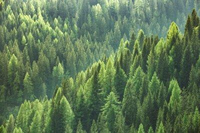 Fotomural Saudável, verde, árvores, floresta, antigas, abeto, abeto, pinho