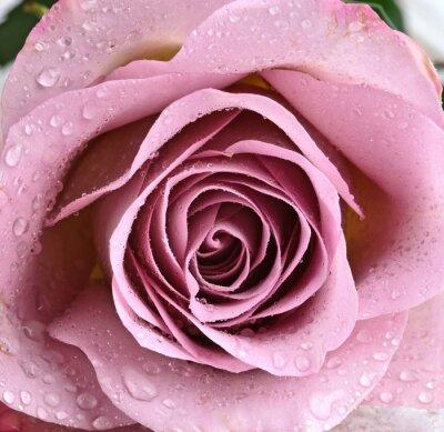 Fotomural Schöne, Violette Rose