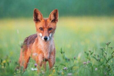 Fotomural Selvagem, vermelho, raposa, olhar, câmera