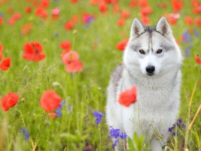 Fotomural Siberian Husky - das flores das papoilas