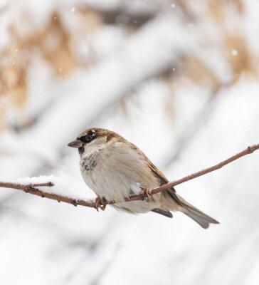 Fotomural Sparrow inverno natureza