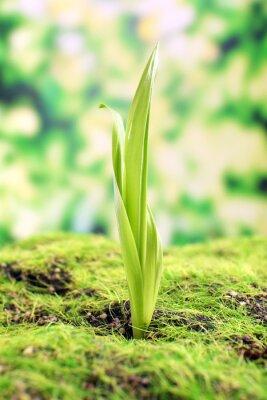 Fotomural Sprout novo em tempo de primavera, closeup