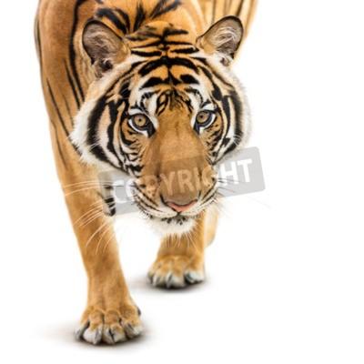 Fotomural Stalking jovem tigre siberiano isolado no fundo branco
