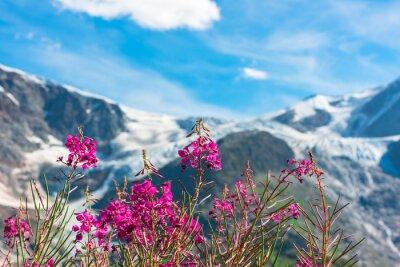 Fotomural Suíço Apls com flores rosa selvagem