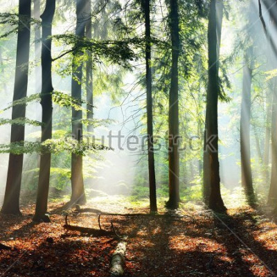 Fotomural Sun rays in a fog in a misty morning green forest. Osnabruck, germany