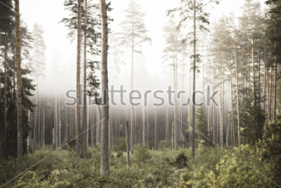 Fotomural sun rising in mist covered forest. sun rays in fog with low visibility - vintage retro look