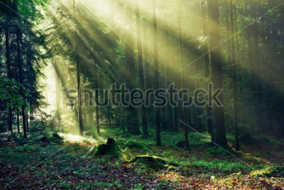 Fotomural Sunrays reaching through the Fir Trees in the Morning after heavy Rain