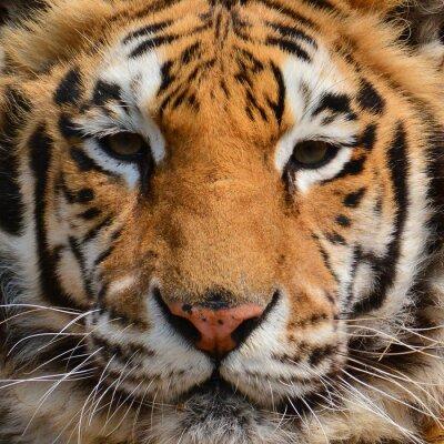 Fotomural Tiger face closeup