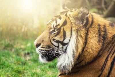 Fotomural Tiger im Seiten Perfil com Sonne em Gesicht