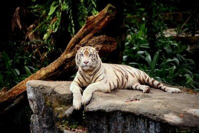 Fotomural Tigre allongé