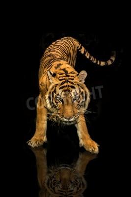 Fotomural Tigre, andar, pretas, fundo