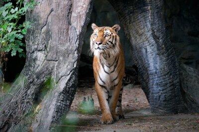 Fotomural Tigre, bengala, floresta