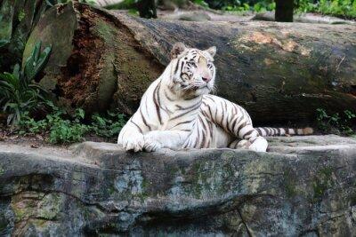 Fotomural Tigre Branco 4