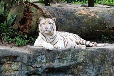 Fotomural Tigre Branco 5