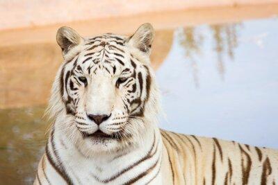 Fotomural Tigre branco no jardim zoológico
