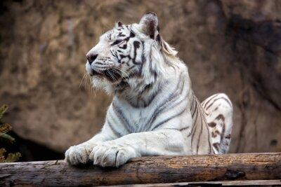 Fotomural Tigre de Bengala - uma subespécie rara, está incluído na Lista Vermelha da IUCN