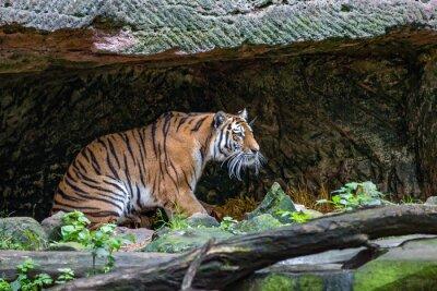 Fotomural Tigre na caverna