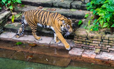 Fotomural Tigre, perto, waterhole
