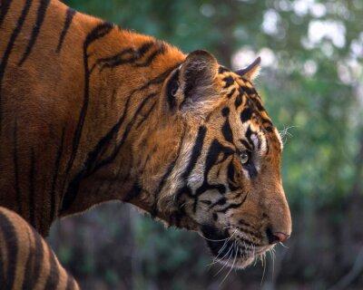 Fotomural Tigre, retrato, bengal, tigre