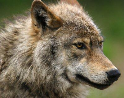 Fotomural Tiro da cabeça do lobo cinzento.