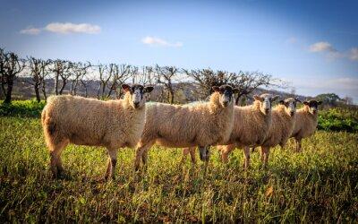 Fotomural Tradycyjne angielskie Owce