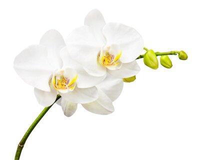 Fotomural Três dias de orquídea velho isolado no fundo branco.