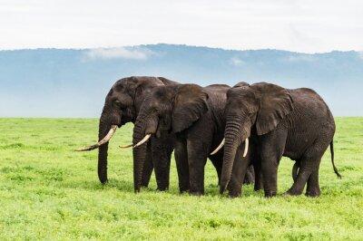 Fotomural Três, elefantes, ficar, fila, ngorongora, cratera, chão