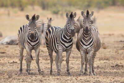 Fotomural Três zebras, Kruger Park, África do Sul