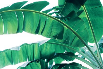 Fotomural Tropical green leaves pattern on white background, lush foliage of banana palm leaves the tropic plant.